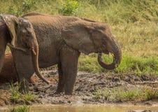 Los elefantes africanos de la sabana en un waterhole en el iMfolozi de Hluhluwe parquean Foto de archivo libre de regalías