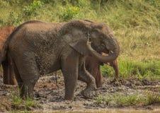 Los elefantes africanos de la sabana en un waterhole en el iMfolozi de Hluhluwe parquean Imágenes de archivo libres de regalías