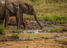 Los elefantes africanos de la sabana en un waterhole en el iMfolozi de Hluhluwe parquean Fotografía de archivo libre de regalías