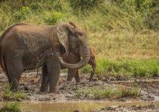 Los elefantes africanos de la sabana en un waterhole en el iMfolozi de Hluhluwe parquean Imagen de archivo libre de regalías