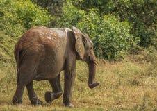 Los elefantes africanos de la sabana en un waterhole en el iMfolozi de Hluhluwe parquean Foto de archivo