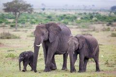 Los elefantes africanos están caminando con dos elefantes del bebé Imagenes de archivo