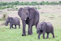 Los elefantes africanos están caminando con dos elefantes del bebé Imagen de archivo libre de regalías