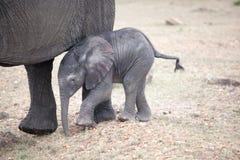 Los elefantes africanos están caminando con los elefantes del bebé Fotos de archivo libres de regalías