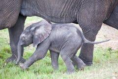 Los elefantes africanos están caminando con los elefantes del bebé Fotografía de archivo libre de regalías
