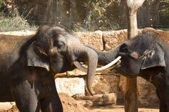 Los elefantes asiáticos en el parque zoológico comunican con uno a usando sus troncos y colmillo Fotografía de archivo