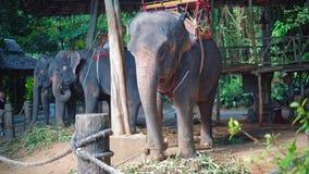 Los elefantes con los asientos en sus partes posteriores se están relajando en una granja en selva asiática almacen de video