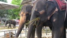 Los elefantes en el parque zoológico con un carro en la parte posterior están comiendo tailandia asia almacen de video