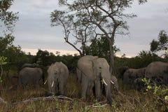 Los elefantes en el Sabi enarenan la reserva privada del juego Imagen de archivo libre de regalías