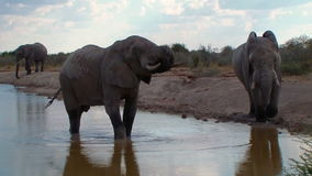Los elefantes se cierran encima del baño en el waterhole Botswana