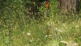 Los elegans carmesís de Platycercus del rosella repiten mecánicamente el pájaro que sube una rama en Australia almacen de video