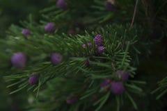 Los embriones de conos en picea Foto de archivo libre de regalías