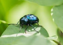 Los escarabajos Imagen de archivo libre de regalías