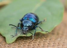 Los escarabajos Foto de archivo