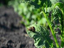Los escarabajos de la patata se multiplican en una hoja de la patata almacen de video