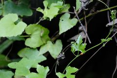 Los escarabajos de mariquita están entre las hojas verdes fotografía de archivo