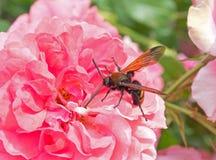 Los escarabajos se sientan en una flor Imagenes de archivo