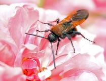 Los escarabajos se sientan en una flor Foto de archivo