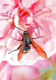 Los escarabajos se sientan en una flor Imagen de archivo libre de regalías