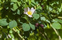 Los escaramujos dan fruto con las hojas y la flor blanca aisladas en una vitamina C blanca del fondo Foto de archivo