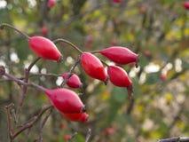 Los escaramujos rojos, la fruta madura del salvaje subieron 2 foto de archivo