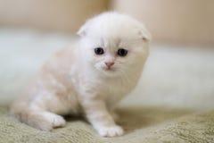 Los escoceses beige de la raza del gato doblan sentarse en el sofá Imágenes de archivo libres de regalías