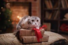Los escoceses de la raza del gato doblan, la Navidad y Año Nuevo Fotos de archivo libres de regalías
