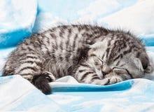 Los escoceses doblan el gatito que se sienta en una manta con las nubes Fotografía de archivo