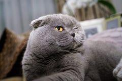 Los escoceses doblan el gato en gato azul gris de los interiores caseros fotos de archivo