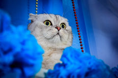 Los escoceses doblan el gato en un fondo azul, cerca de los pompones azules Foto de archivo libre de regalías