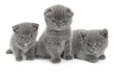 Los escoceses doblan el gato gris Fotos de archivo
