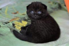 Los escoceses doblan, el negro, bebé de ojos azules, gato fotografía de archivo libre de regalías