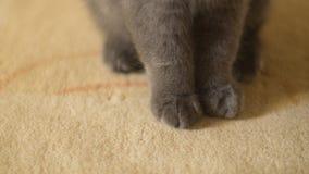 Los escoceses doblan las patas lindas del gatito en la alfombra Imagen de archivo libre de regalías
