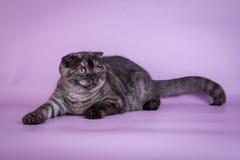 Los escoceses doblan pequeño color lindo del humo del negro del gatito de 4 monts Fotografía de archivo