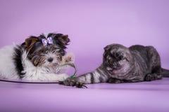 Los escoceses doblan y el pequeño color lindo del humo del negro del gatito de 4 monts del pequeño perro Foto de archivo