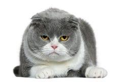 Los escoceses plegable el gato, 5 años, mintiendo Fotografía de archivo