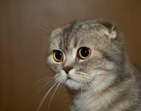 Los escoceses plegable el gato gris Foto de archivo libre de regalías