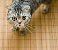Los escoceses plegable el gato que mira para arriba satisfecho para el alimento Fotografía de archivo libre de regalías