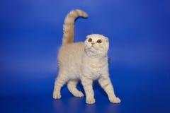 Los escoceses poner crema del gatito doblan en un fondo azul del estudio Fotos de archivo