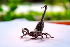 Los escorpiones gigantes del bosque se prepararon a luchar y se protegieron cuando acercamiento del fotógrafo para tirarlos foto de archivo