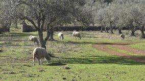 los españoles 4K paren comiendo la hierba al buen día de invierno con los rayos de sun en campo metrajes