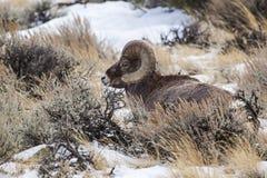 Espolón de las ovejas del Big Horn Imagenes de archivo