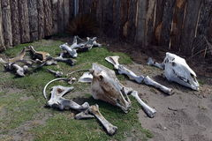 Los esqueletos de animales en el centro de investigación en el golfo de Inutil Fotografía de archivo