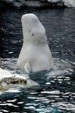 Los estallidos de la beluga del bebé hasta dicen hola imagen de archivo libre de regalías
