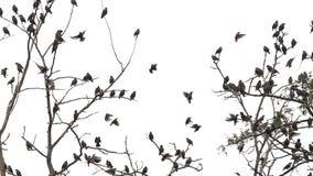 Los estorninos se sientan para descansar después del vuelo en ramas secas almacen de metraje de vídeo