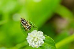 Los ficheros o la flor de la fruta clasifía en naturaleza verde Fotografía de archivo libre de regalías