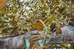 Los ficus viejos del higo de la bahía de Moreton de las hojas de los ficus han crecido literalmente con Beverly Hills a lo largo  Foto de archivo