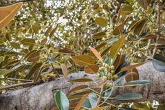 Los ficus viejos del higo de la bahía de Moreton de las hojas de los ficus han crecido literalmente con Beverly Hills a lo largo  Foto de archivo libre de regalías