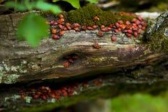 Los firebugs en un árbol fotografía de archivo libre de regalías