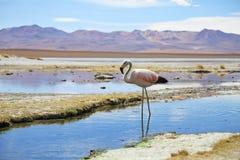 Los flamencos de los Andes acercan a las aguas termales en el desierto de Bolivia Imágenes de archivo libres de regalías